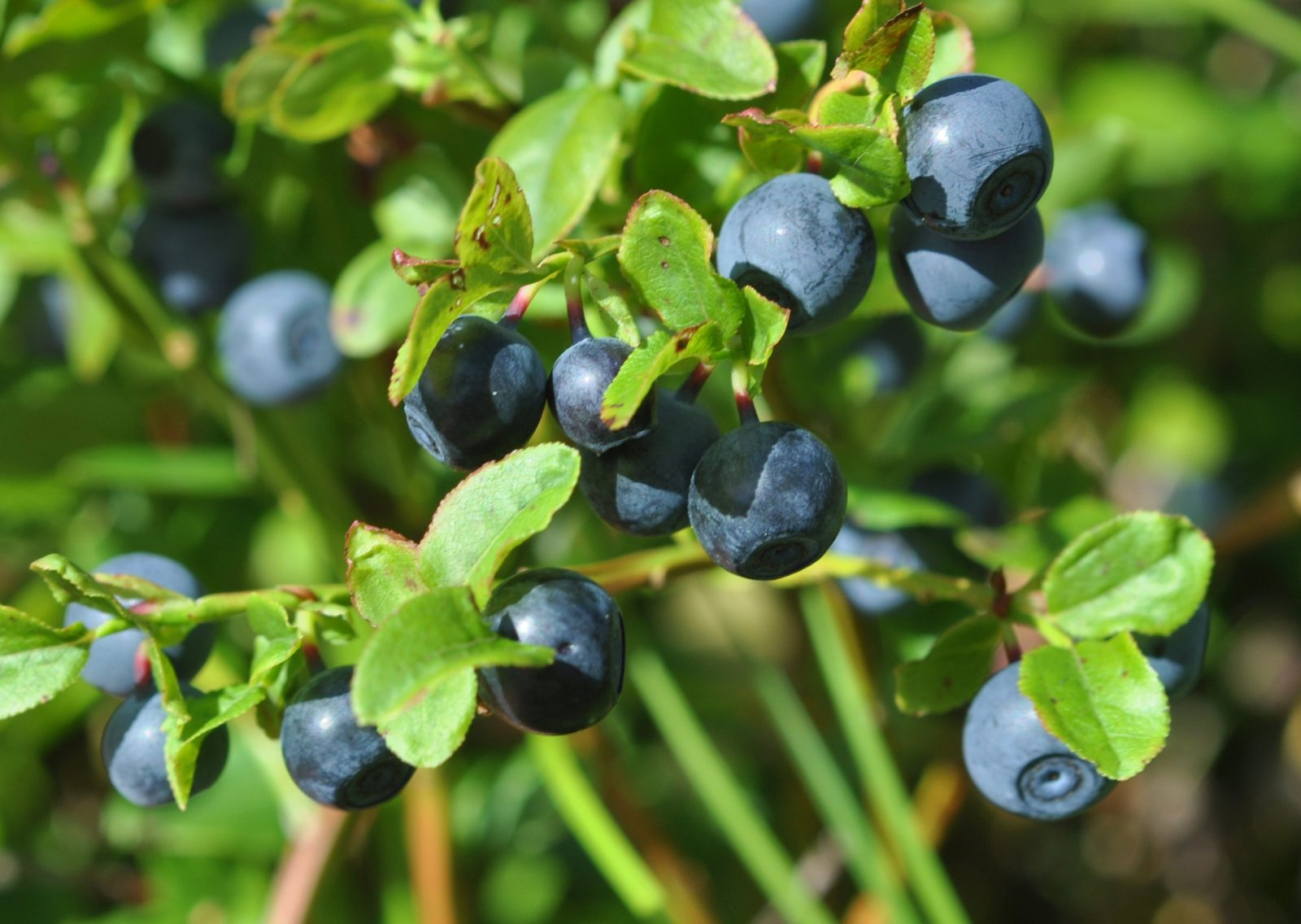 Hotel Ivalo-Berry-picking-Blueberry